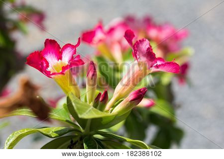 Abstract of natural flowers Azalea flowers. Impala Lily or Desert Rose or Mock Azalea beautiful pink flower in garden.