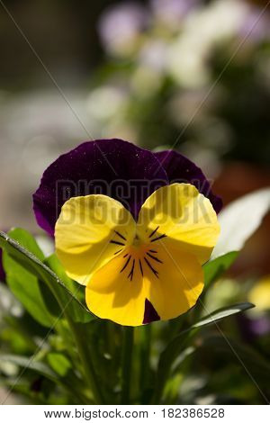 The first spring yellow pansy in the sunshine