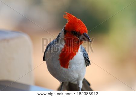 Beautiful look at a red crested cardinal bird with a breadcrumb on his beak.
