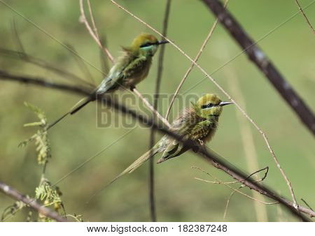 Pair Of Little Green Bee-eaters On Perch
