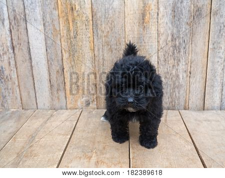 Dog standing on grunge wooden floor wooden wall as background.