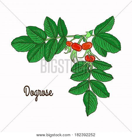 A branch of dog rose hips on white background. Vector illustration.