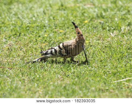 Wild Hoopoe Bird Stood Feeding In Grass Of A Garden