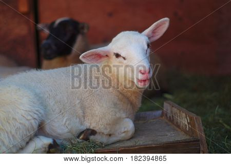 sheep white lamb portrait red barn and grass