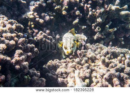 Dogface puffer (Arothron nigropunctatus) swimming around the reef