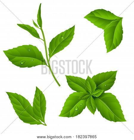 Fresh green tea sprig and mint leaves with drops of dew.Vector illustration of plant on isolated background.