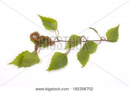 Birch Tree, Catkin