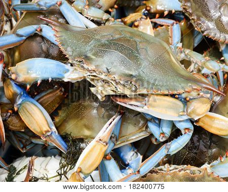 Live blue paw crabs ready for a seafood boil