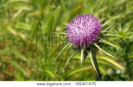 A lonemy thistle flower in a Green field