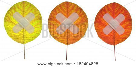 red, yellow, brown leaf isolated on a white background