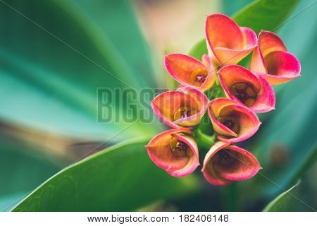 Wallpaper background flowers Euphorbia milii Pink flowers.thailand Tropical forests