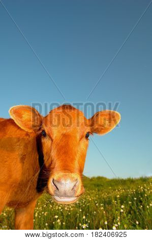 cute baby cow in summer on background sky