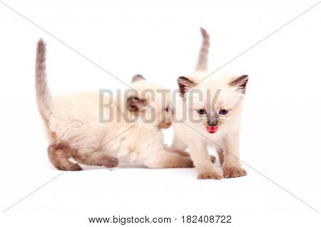 Beautiful little siamese kittens one mewing on camera. Isolated on white background. poster
