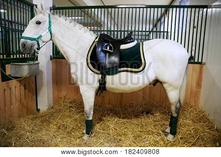 Side view shot of a beautiful purebred lipizzaner in the barn. Beautiful leather saddle for equestrian sports on horseback
