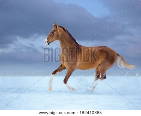 golden horse with white legs galloping in snow on sky background