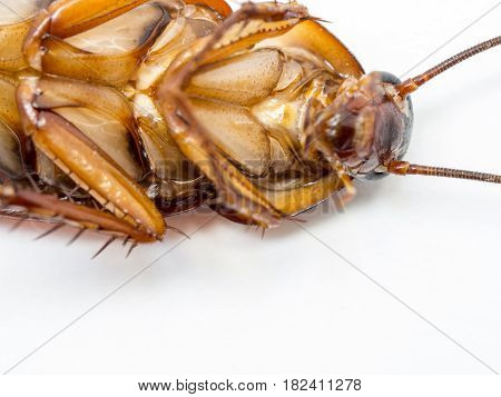 Closeup cockroach show details since mid body to the head on a white background (ISOLATED). Cockroaches are carriers of the disease.