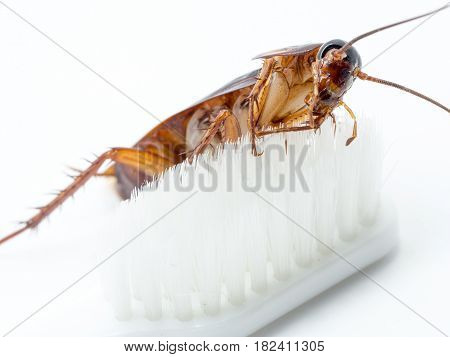Cockroaches stick on the tip of a white toothbrush. Cockroaches are carriers of the disease.