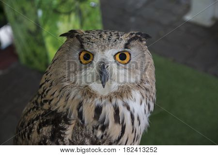 Portrait of a Beautiful Owl. Owl eyes