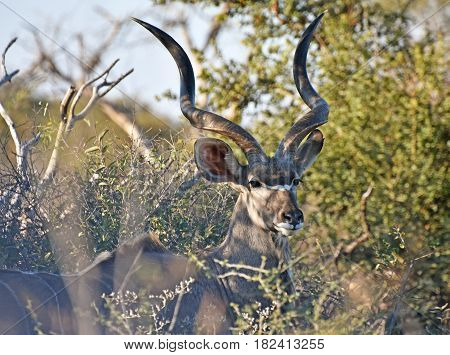 Picture of a kudu in Madikwe game reserve, South Africa.