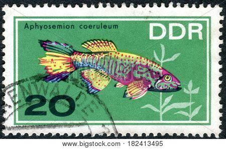 GERMANY - CIRCA 1966: A stamp printed in Germany (GDR) shows tropical fish Blue Gularis (Aphyosemion coeruleum) circa 1966