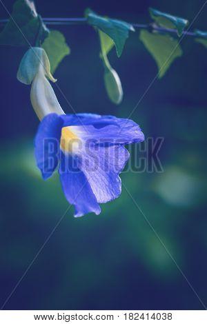 background nature Flower Thunbergia erecta. full flower. Purple flowers