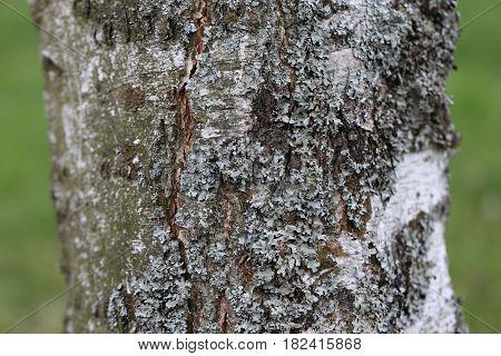 Lichen / Lichen growing on the tree.