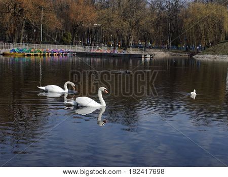 White swans swim on the lake in the city park. Proud and beautiful bird. Dark water in early spring.