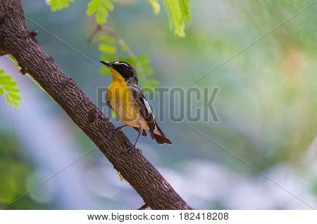 Yellow-rumped Flycatcher Bird
