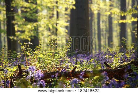 fern and bluebell flowers in sunny forest