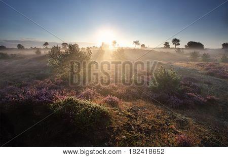 misty summer sunrise over flowering pink heather