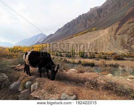 Cow Grazing In Meadow Along Hindu Kush Mountain Range In Ghizer Valley, Northern Pakistan