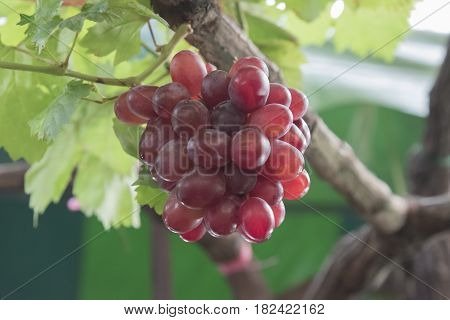 Ripening red grapes in countryside vineyard for red wine