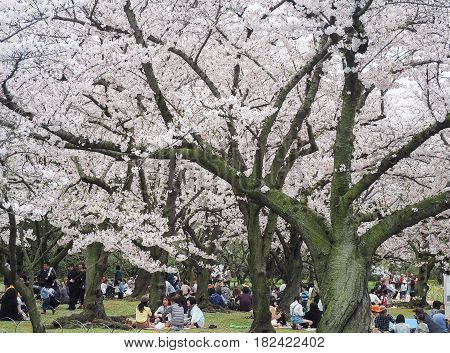 Korakuen Garden, Okayama, Japan - April 8, 2017 : Japanese enjoying Cherry blossoms festival in park. Hanami is Japanese tradition of welcoming spring.