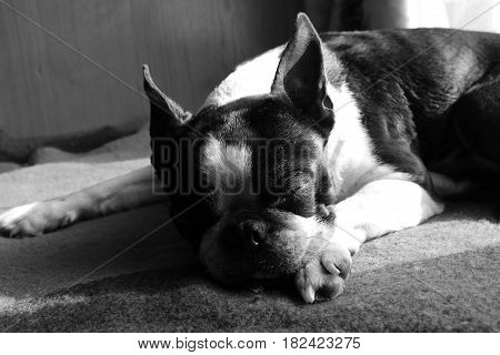 Boston terrier dog sleeping on a cot in black and white. Sleeping dog in sun rays.