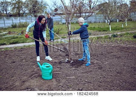 planting of seedlings by level/ pair of gardeners with a young fruit tree in the spring