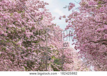 Pink Tabebuia rosea flower on top of tree which blooming in summer. In Thailand called Chompoo Pantip or Thailand Sakura.