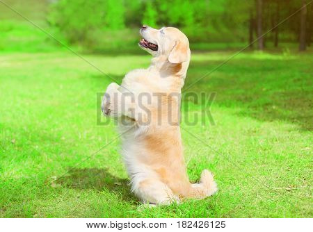Happy Golden Retriever Dog On The Grass Is Standing On Hind Legs, Profile Side View