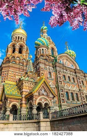 St Petersburg Russia - cathedral of Our Savior on Spilled Blood inin sunny spring day. Architecture spring view of St Petersburg Russia landmark framed by lilac flowers. St Petersburg Russia landscape