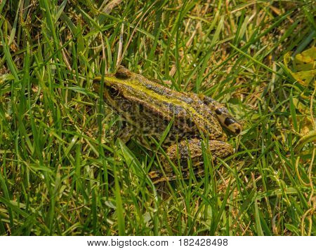 Frog In The Grass.