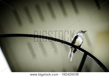 Beautiful black and white bird, male Oriental Magpie Robin (Copsychus saularis)