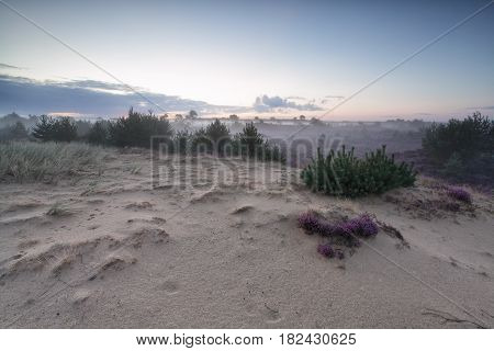 sand dune and flowering heather in summer morning