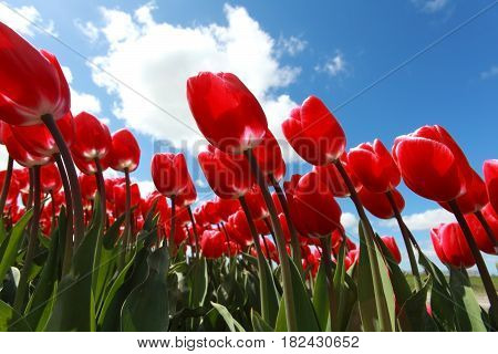 red tulips over blue sky outdoors in Holland