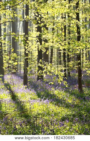sunny beech forest with flowering bluebells in spring
