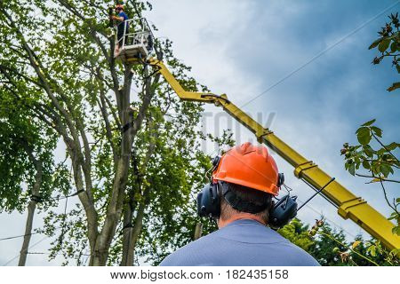 Workers fell the more than 500 year old Emperor Beech