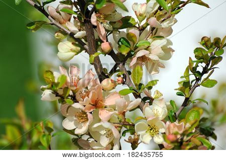 Spring Blossom: Branch Of A Blossoming Tree On Garden