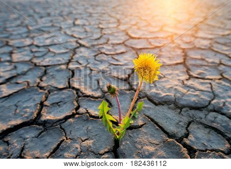 a plant growing in desert drought concept