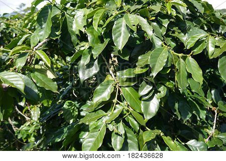 glossy leathery leaves of an evergreen coffee tree