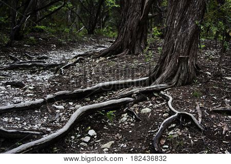Exposed roots of Cedar trees reach across a hiking path near Waco, Texas