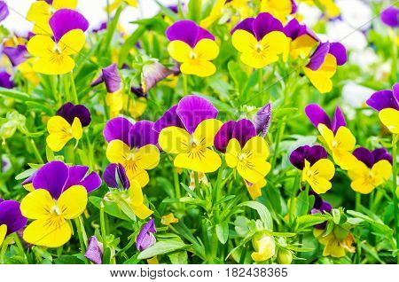 Summer flower nature background - field of yellow and lilac summer pansies flowers. Summer landscape with blooming flowers. Closeup of summer flowers. Summer flowers background - beautiful summer pansies flowers