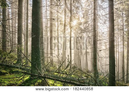 Old deep misty forest with sun rays at morning.